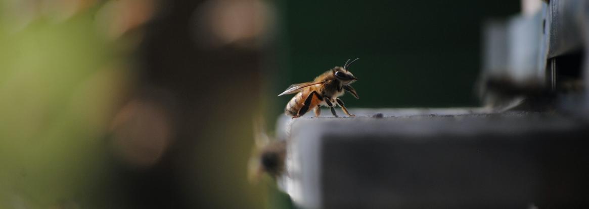 Des ruches sur les toits de Paris